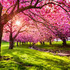 Cherry tree blossom. Explosion in Hurd Park, Dover, New Jersey Stock Photo