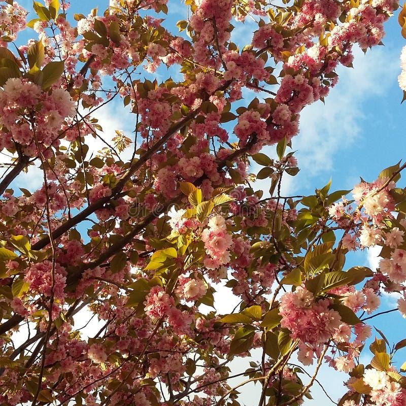  del ã di Cherry Blossoms Springtime Flowers•‰ Londra del 'del ã del  del  del ã fotografie stock