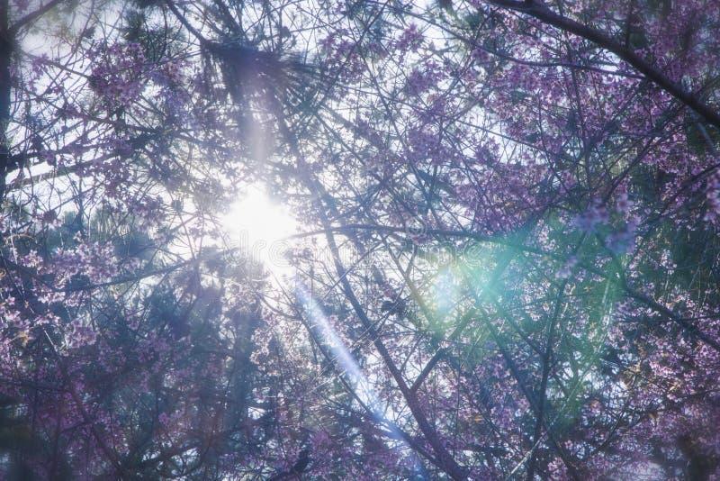  à DE Ä ¡T, Sakura vietnamita de LẠfotos de archivo