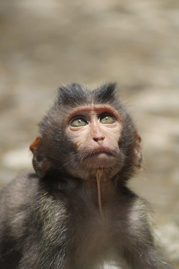 " Monkey†""Wee балийское стоковое фото rf"