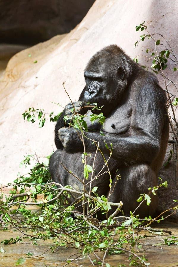 ¡ D'innà de ¾ de nÃÅ de Gorila, zahrada de ¡ de ZoologickÃ, Troja, Praha, ¡ d'ÄŒeskà au sujet de image libre de droits