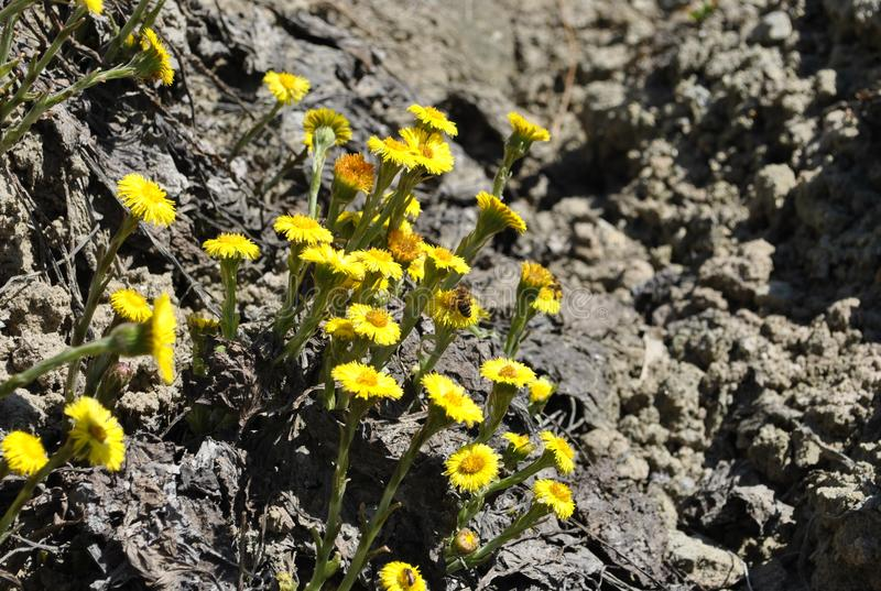 ¡ Tussilà весны идет лекарственные растения rfara ¡ fà стоковые фото