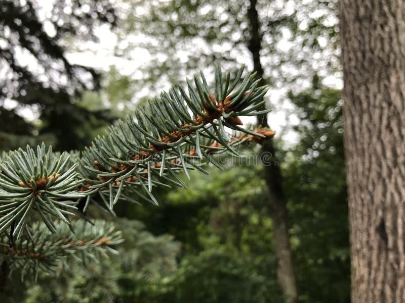 ¡Acción del rocío del árbol de pino!! fotografía de archivo