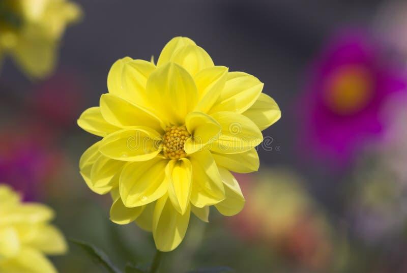 Download ¡Amarillo hermoso! foto de archivo. Imagen de vibrante - 1277264