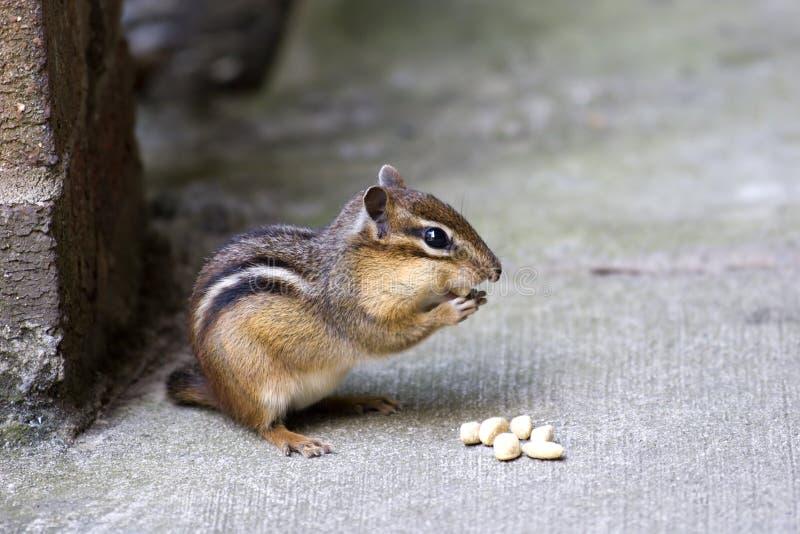 ¡Chipmunk! foto de archivo
