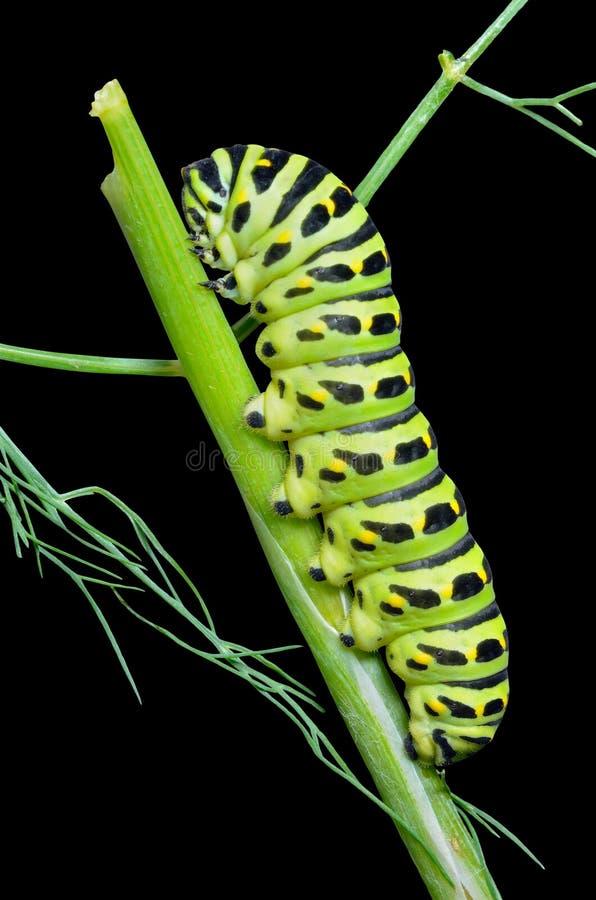 ¡De Ð aterpillar del swallowtail 1 fotografía de archivo