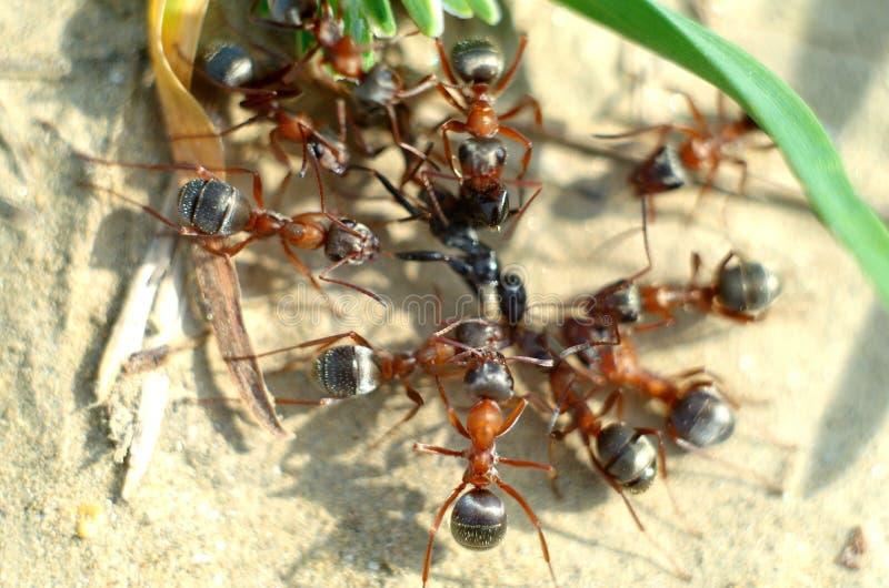 ¡De Ð olony de hormigas rojas fotografía de archivo