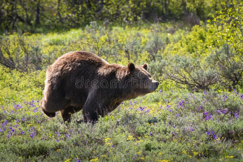 ¡La caza! Una cerda del oso grizzly que defiende su territorio imágenes de archivo libres de regalías