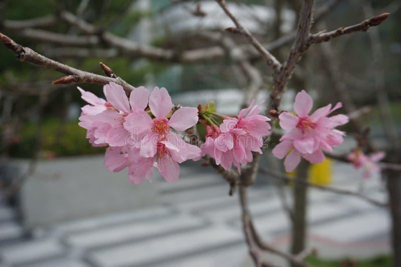 ¡Las flores de cerezo de la belleza de la naturaleza saltan están aquí! imagenes de archivo