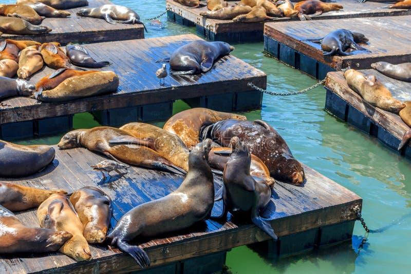 ¡Leones marinos en el embarcadero 39 en San Francisco! imagen de archivo libre de regalías