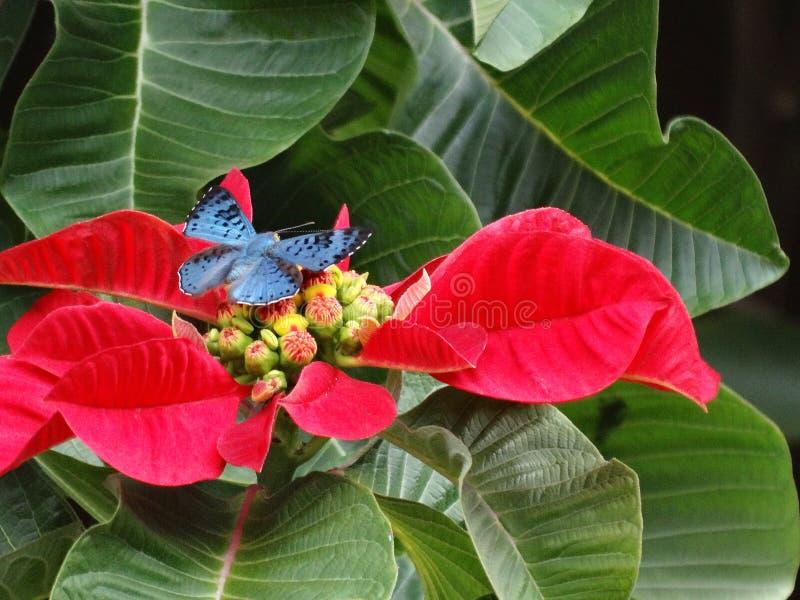 ¡Mariposa Brillante-azul hermosa y rara de Lasaia que se encarama en una poinsetia! fotos de archivo libres de regalías