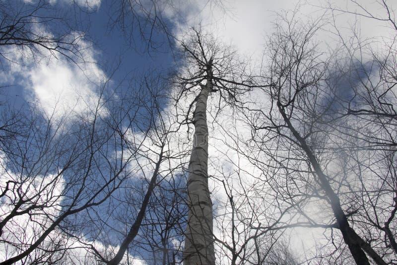 ¡Mire para arriba! Árboles y nubes fotografía de archivo libre de regalías