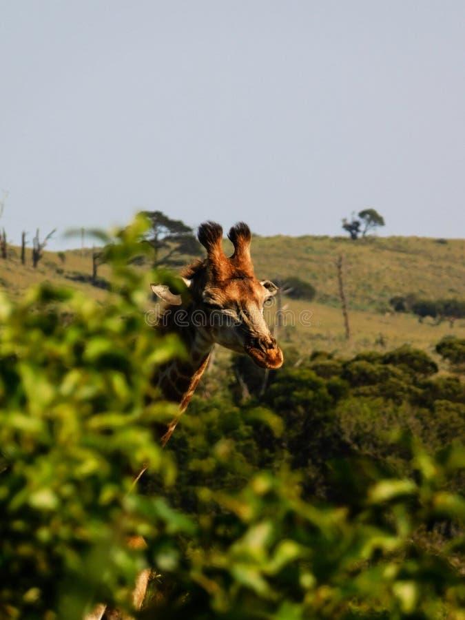 Â¡Nena Giraffe estornuda! imagenes de archivo
