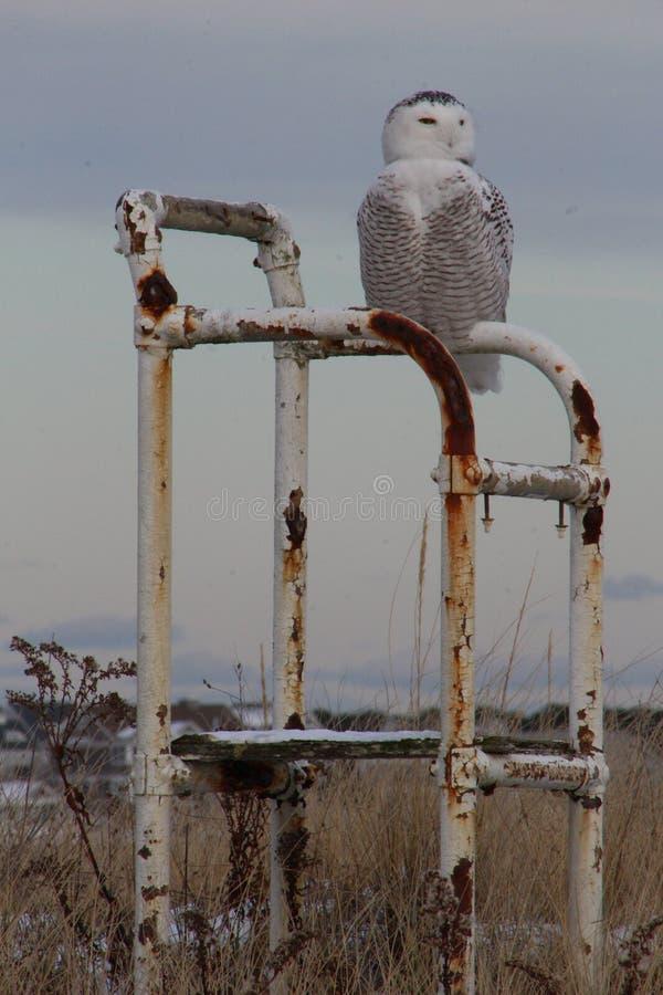 ¡Nevado Owl Alert! fotografía de archivo