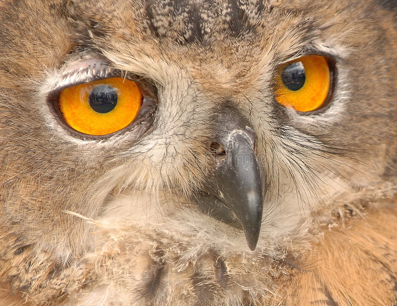 ¡Ojos de los buhos!! imagen de archivo