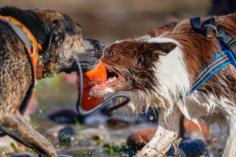 ¡Perros que juegan la etiqueta en el río! imagen de archivo libre de regalías