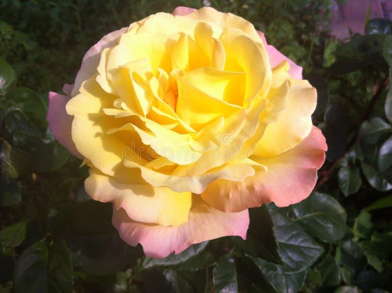 ¡Rosa del amarillo en un macizo de flores! Odessa, Ucrania 2017 fotos de archivo libres de regalías