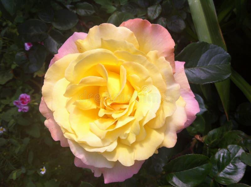 ¡Rosa del amarillo en un macizo de flores! Odessa, Ucrania 2017 imagenes de archivo