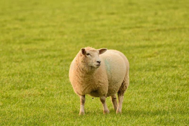 ¡Una oveja en Inglaterra rural que sonríe para la cámara! fotografía de archivo libre de regalías