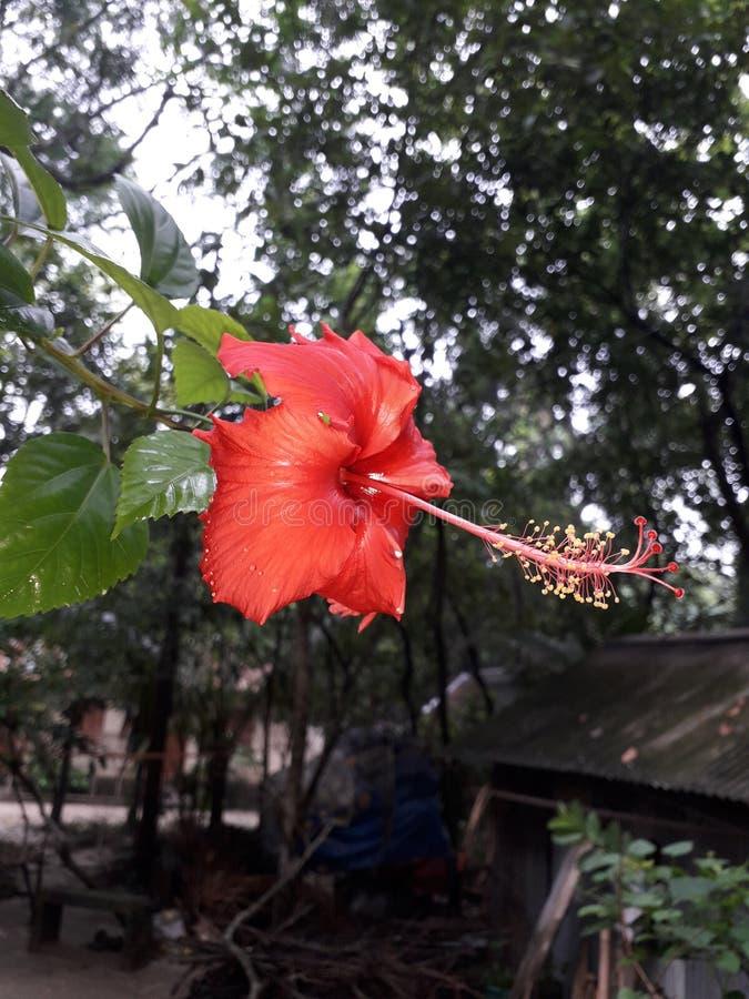 ¡Wow!! rama roja maravillosa de China Rose In The del árbol fotografía de archivo