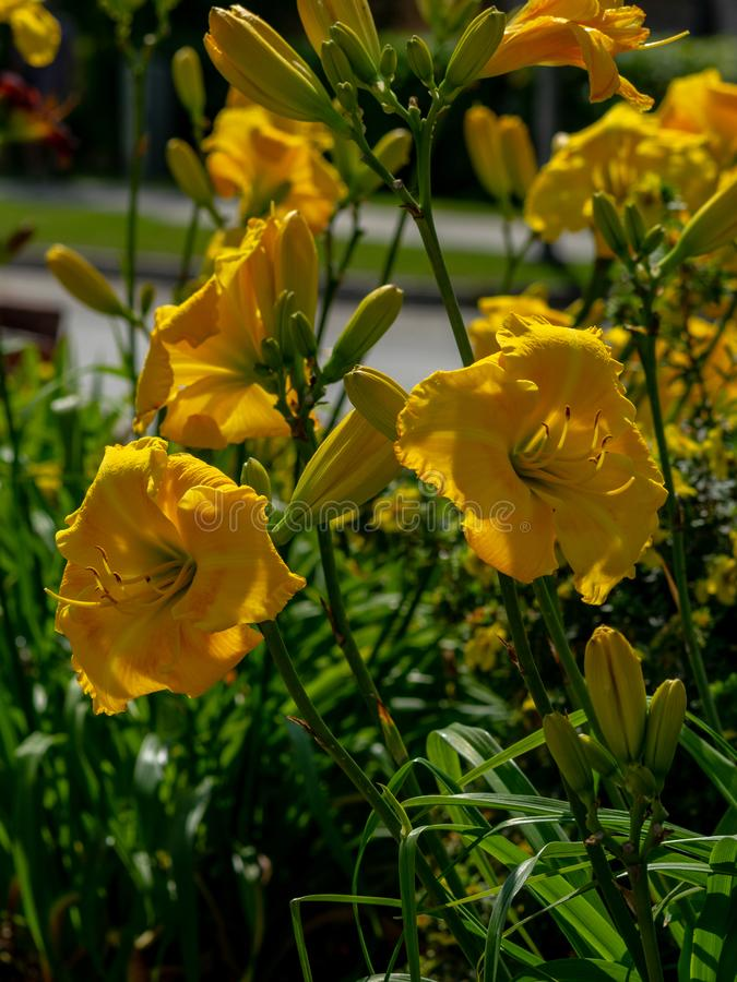 «Hemerocallis variopinto, «fiore che fiorisce, giorno di estate soleggiato, fotografie stock libere da diritti