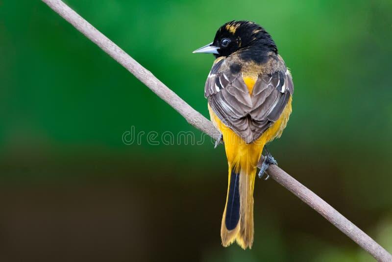 1° maggio 2019 Windsor Ontario Canada Ornithology Birds Baltimora Oriole Perch Natural Background Bokeh fotografie stock libere da diritti