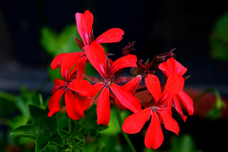 ³ rosso d del ogrà del giardino di fiori kwiaty fotografie stock