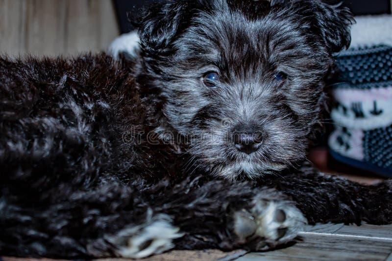 ¹ de pelo largo negro del ¬Â del 'de â€ââ del ¹ del ¬Â del 'de â€ââ del perro de perrito con un pequeño remie fotografía de archivo