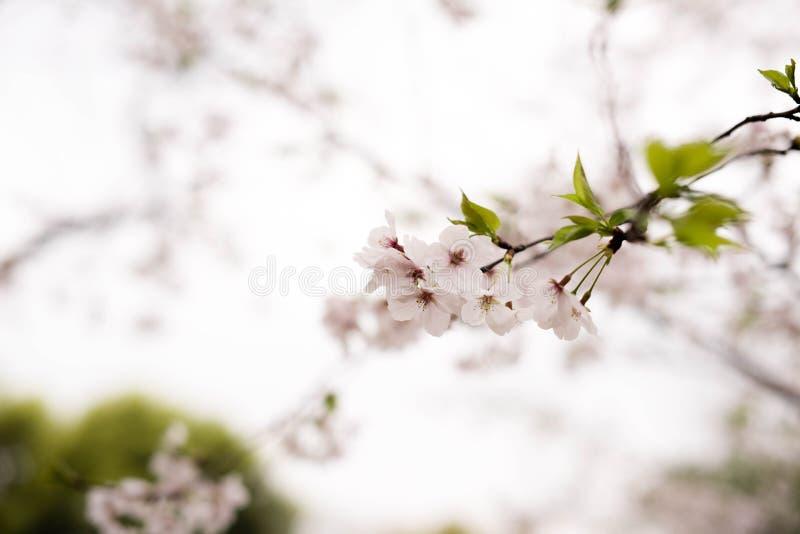 ¼ bianco ŒSakura del blossomsï della ciliegia fotografie stock libere da diritti