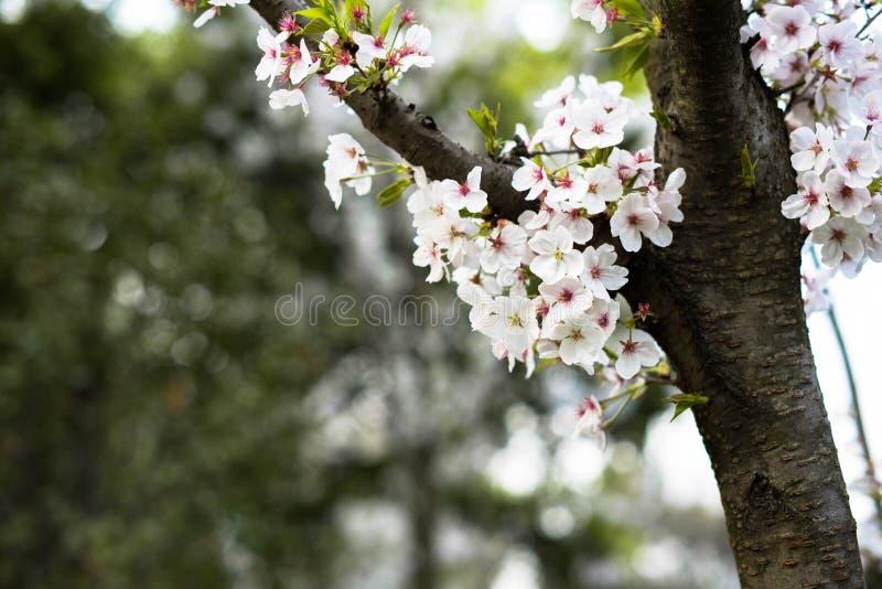 ¼ branco ŒSakura do blossomsï da cereja imagem de stock