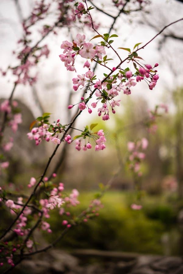¼ cor-de-rosa ŒSakura do blossomsï da cereja foto de stock royalty free