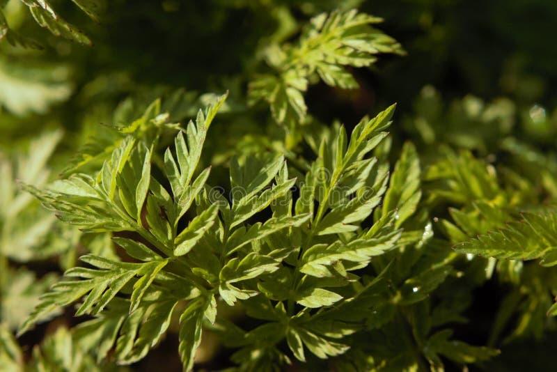 ½ иÐ?, ² а, Ð DEL 'Ð?Ð DEL  Ñ DE Ñ€Ð°Ñ DEL 'раРDE Ñ·½ ÑŒ, planta, hierba, verdes de Ð?Ð de Ð?Д imagen de archivo