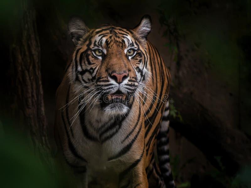 ½ de sumaterskà de tigre, grands chats image libre de droits