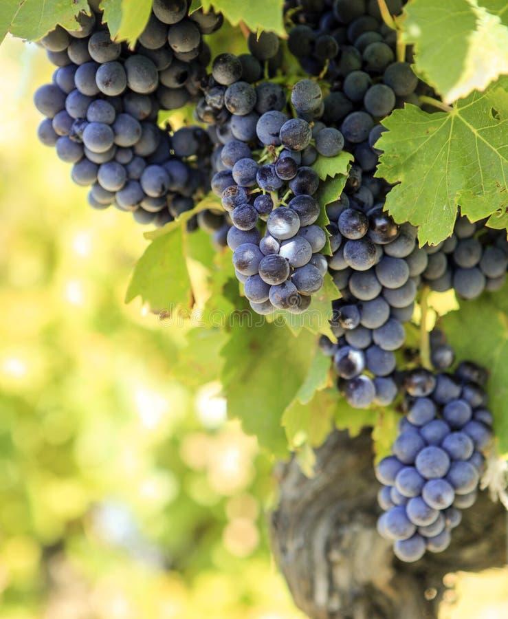 ¿ G de growinÐ de raisins de cuve Menace de raisin - plan rapproché photos libres de droits