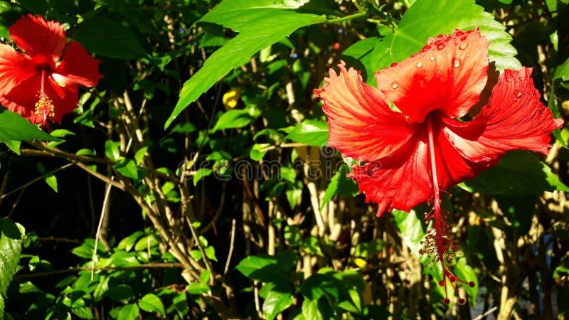 ¿Flores rojas o anaranjadas? ¿Gotas de agua o luz del sol? fotografía de archivo libre de regalías