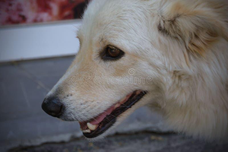 ¿Perro perdido blanco grande agradable?? exterior en un día soleado caliente Primer Protecci?n animal foto de archivo