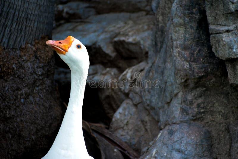 ¿Quién yo? Una solos cabeza, cuello y pico del ganso, entre rocas y tronco de árbol en el fondo fotos de archivo
