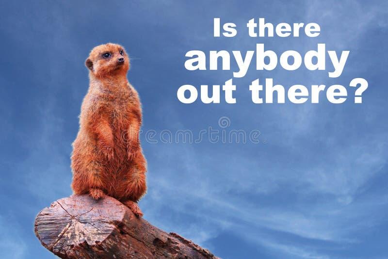 """¿Un suricatta curioso del Suricata del meerkat o del suricate que pide los """"Is allí cualquiera ahí fuera?  del †imagen de archivo libre de regalías"""