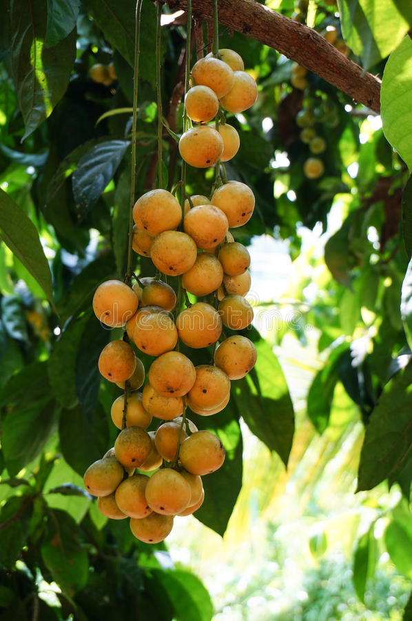 มะไฟ Thai Fruit royalty free stock photo
