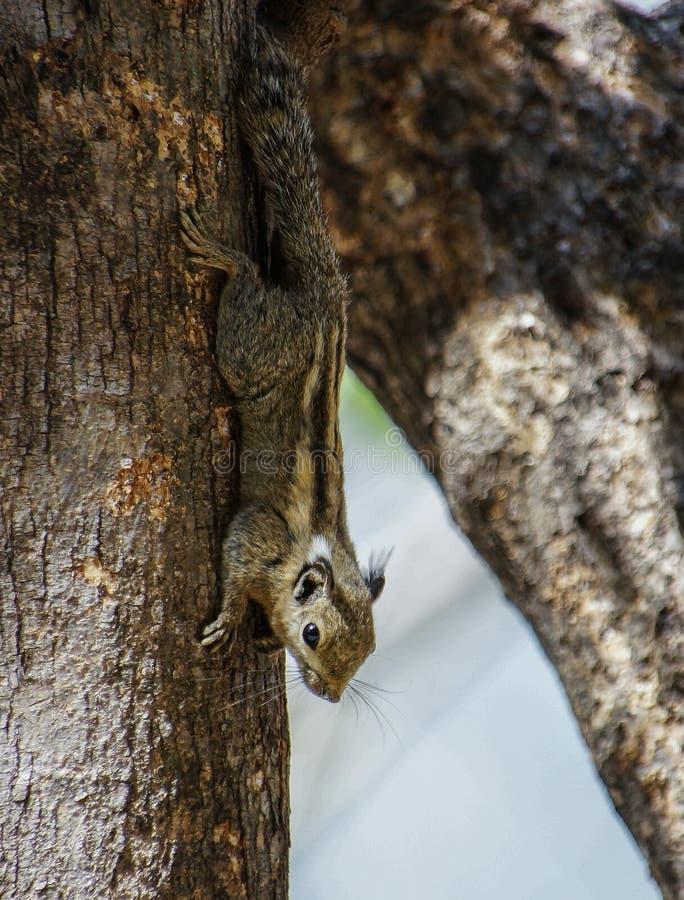 ฺีBurmese Striped Squirrel. A Burmese Striped Squirrel hanging down from a tree royalty free stock photography