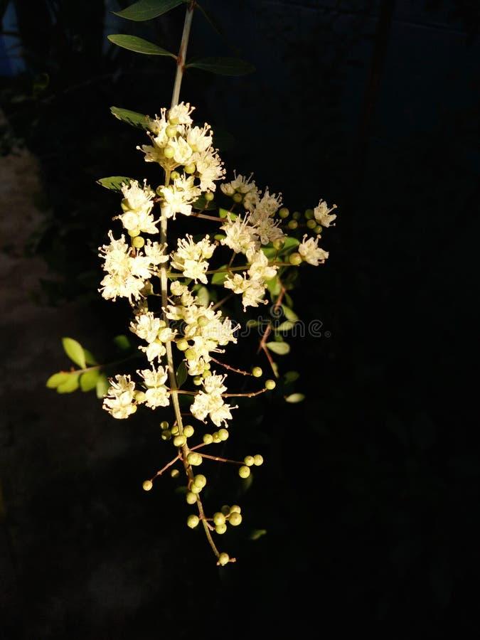 ฺBlossom kwiat pudełko cedr, Toona, Indiański mahoń, Moulmein cedr zdjęcie stock