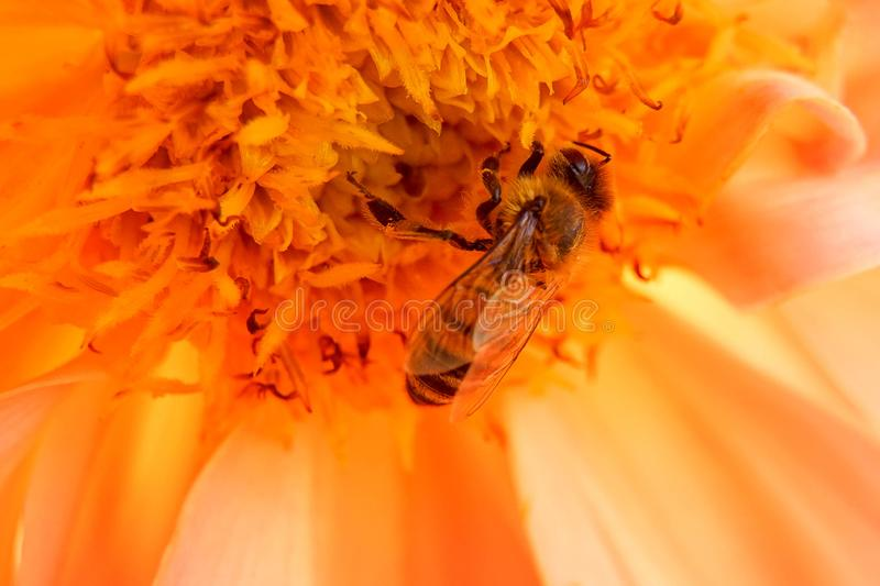 Bee and flower. stock photography