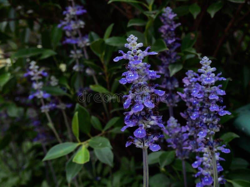 à¸'Blue Salvia-Blume beauti stockbild