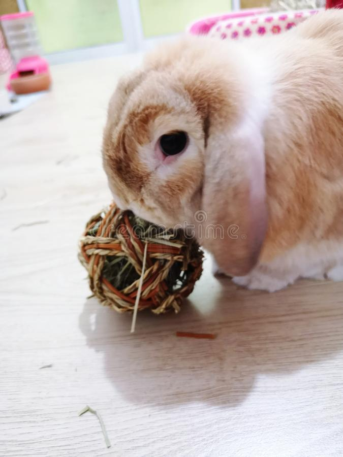 ิbunny rabbit holland lop play ball. Bunny rabbit brown holland lop play hay ball royalty free stock photo