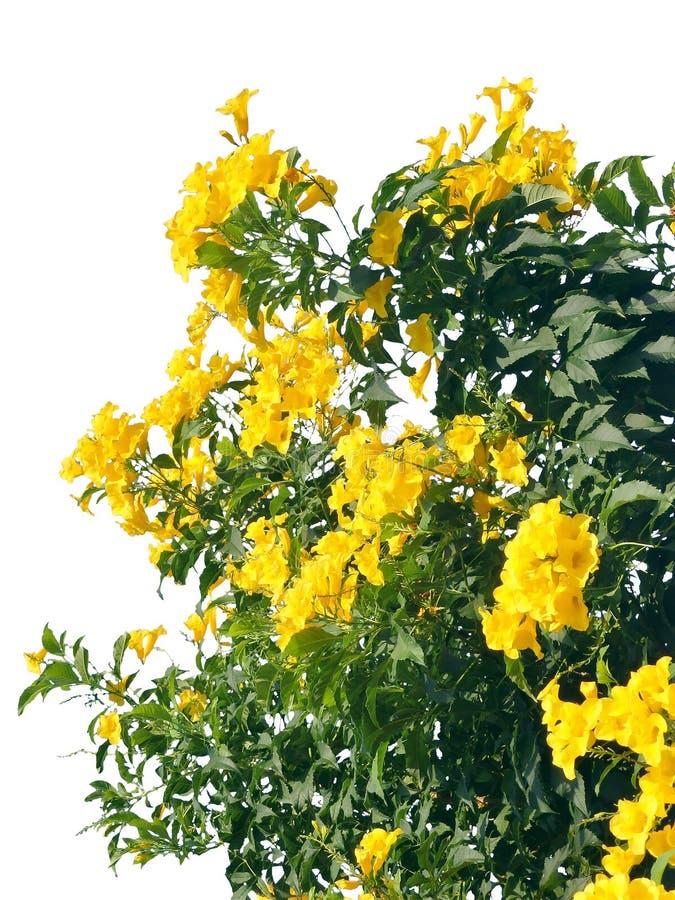 ํYellow flower wall garden, tree isolated border. Fence green leaves, blossom fresh plant frame border, yellow flower wall garden, tree isolated stock image