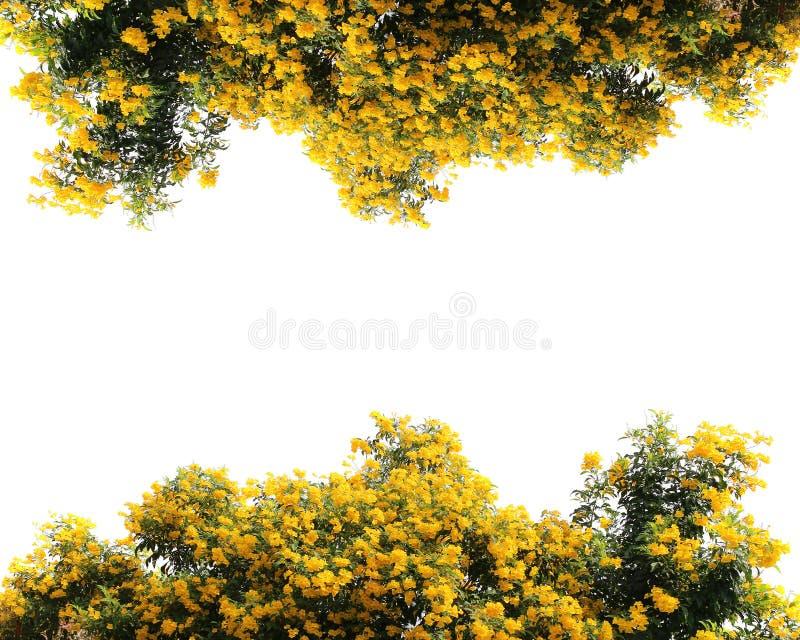 ํYellow flower wall garden, tree isolated border. Fence green leaves, blossom fresh plant frame border, yellow flower wall garden, tree isolated royalty free stock images