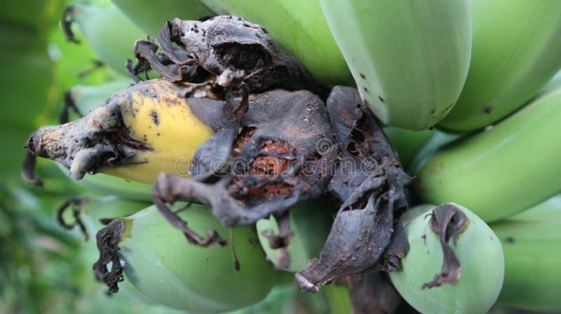 à¸'à¸'Rotten Banane stockfotografie