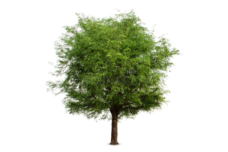 ต在白色背景,裁减路线的被隔绝的罗望子树 免版税库存照片
