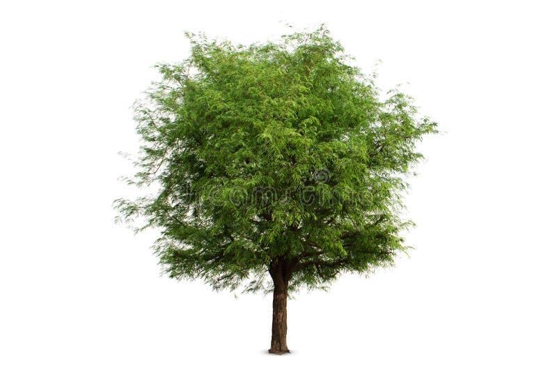 ต,Isolerat tamarindfruktträd på vit bakgrund, snabb bana royaltyfria foton