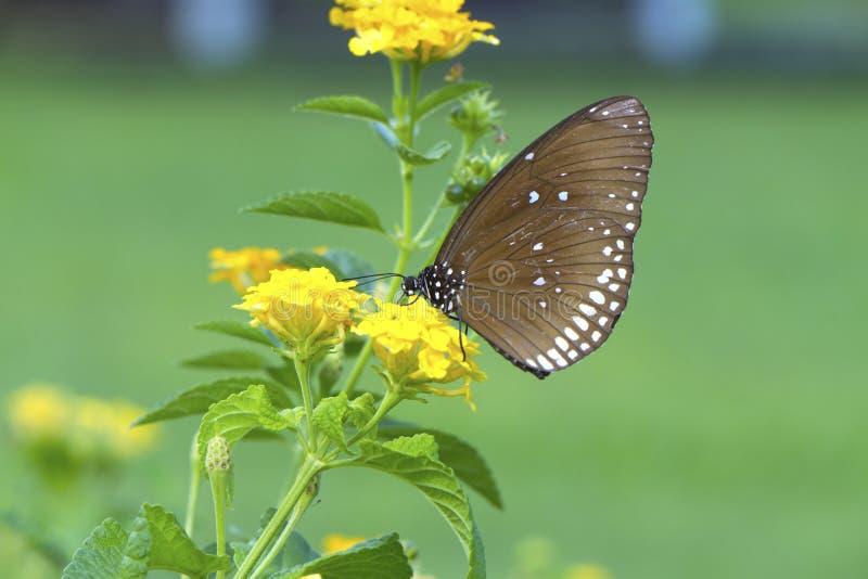 ฺBrown och vit prickig fjäril på den gula blomman arkivfoto